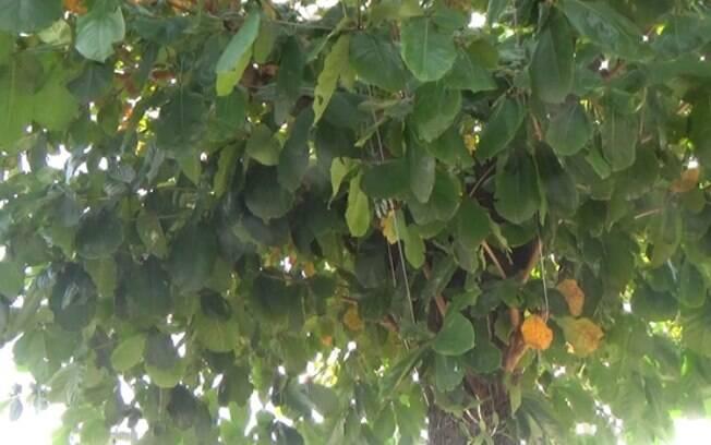 Moradores reclamam de árvore lotada de morcegos em Campinas