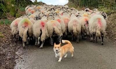 Conheça Daphne, a Corgi que trabalha como pastora de ovelhas