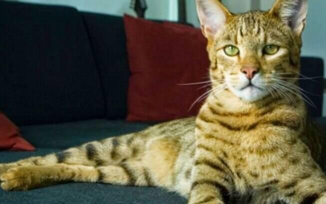 O Allerca Hypoallergenic também lembra felinos selvagens