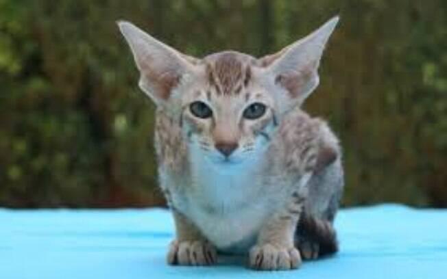 Oriental Cat tem o pelo curto e é relativamente fácil de cuidar