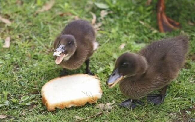 Jogar migalhas de pão prejudica a saúde do animal e interfere no ecossistema dos rios