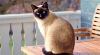 Gato com febre: saiba como medir a temperatura do pet