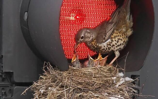 Essa mamãe que construiu seu ninho no semáforo