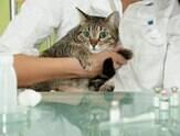 Como tratar e o que é a Síndrome Urológica Felina