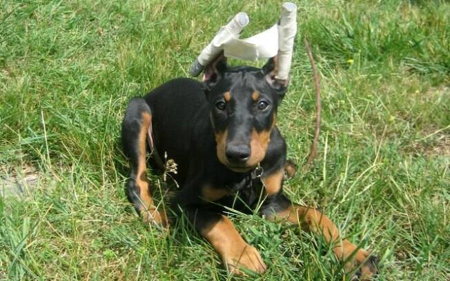 Cachorro da raça Doberman que sofreu a conchectomia