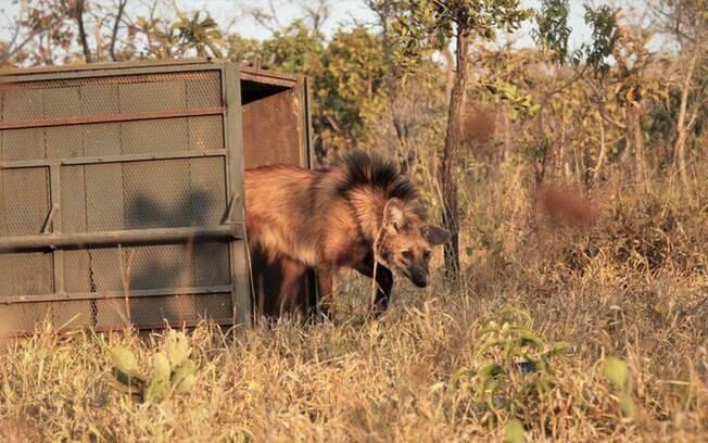 O lobo-guará (Chrysocyon brachyurus) é o maior canídeo silvestre da América do Sul