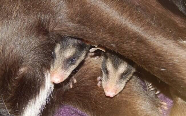 Filhotinhos de gambá