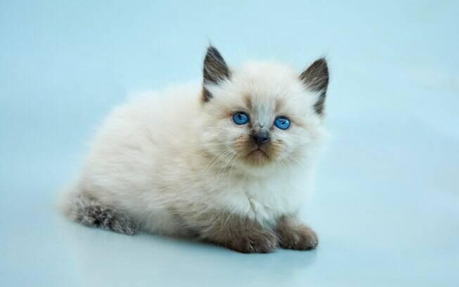 Balinês é um gato muito afetuoso,  tem personalidade dócil e adora outros animais