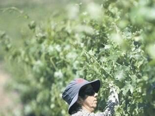 Vinícolas gaúchas são investigadas por adulterar vinhos com antibióticos