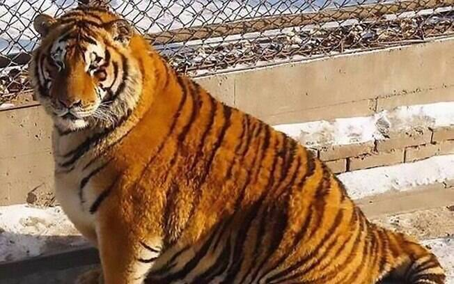Visitantes tem a opção de alimentar os felinos a qualquer momento, o que pode ter sido a causa do ganho de peso