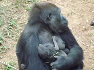 CIDADES - BELO HORIZONTE (MG)  05/08/2014- Belo Horizonte- MG, Brasil- A gorila Lou Lou, que vive desde o final do ano passado no Zoológico da Fundação Zoo-Botânica de Belo Horizonte, deu à luz ao primeiro filhote de gorila da América do Sul.  FOTO:Suziane Fonseca/ Portal PBH 05.08.2014