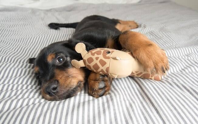 A gravidez psicológica canina faz com que os cadelinhas vejam seus brinquedos como filhotes