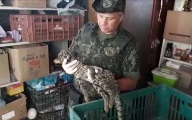 Gato-do-mato resgatado pela Polícia Militar Ambiental
