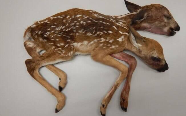 Cervo de duas cabeças foi encontrado em floresta dos Estados Unidos por um caçador; criatura foi estudada por anos