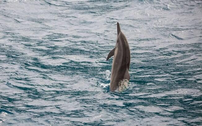 Os golfinhos rotadores de Fernando de Noronha adoram se exibir para os turistas e se aproximar dos barcos