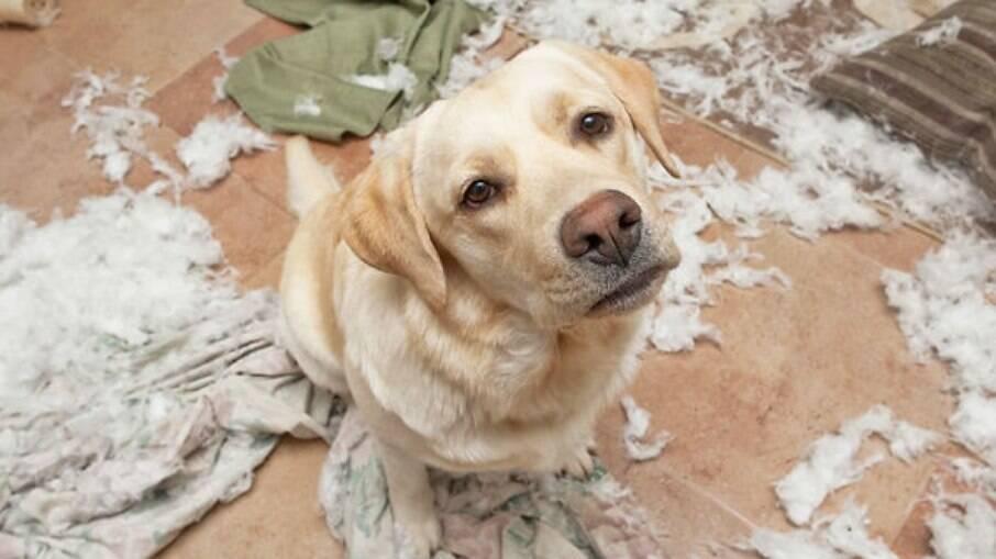 A coprofagia é o hábito do cão comer as próprias fezes ou a de outros animais e seres humanos