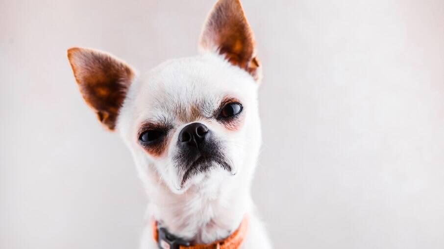 Cães de raças menores têm seus motivos para parecer que estão sempre com raiva