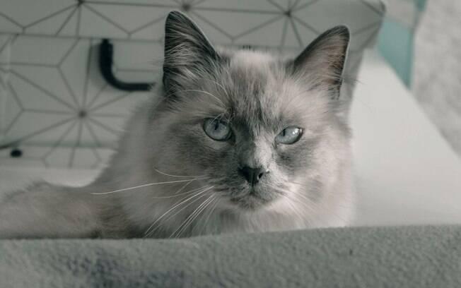 Gato birman