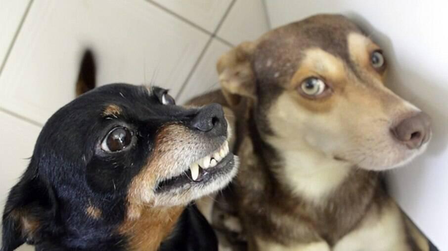 Cadelinha da raça Pinscher chamada Fetúcia é famosa na internet
