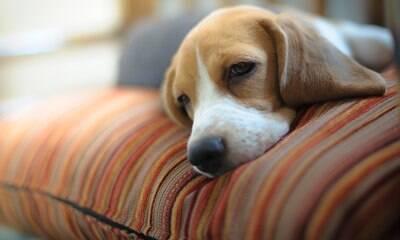 Os mitos e verdades sobre a leishmaniose em cães