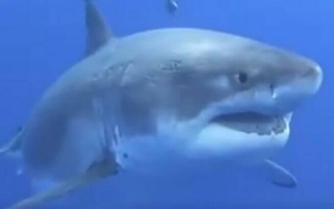 Pescadores acreditam que exemplar é o maior animal da espécie que foi encontrado.