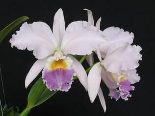 A espécie de orquídea Cattleya labiata chama atenção por sua beleza e perfume suave
