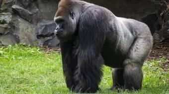 Gorila se enfurece e tenta arrastar mulher em Ruanda