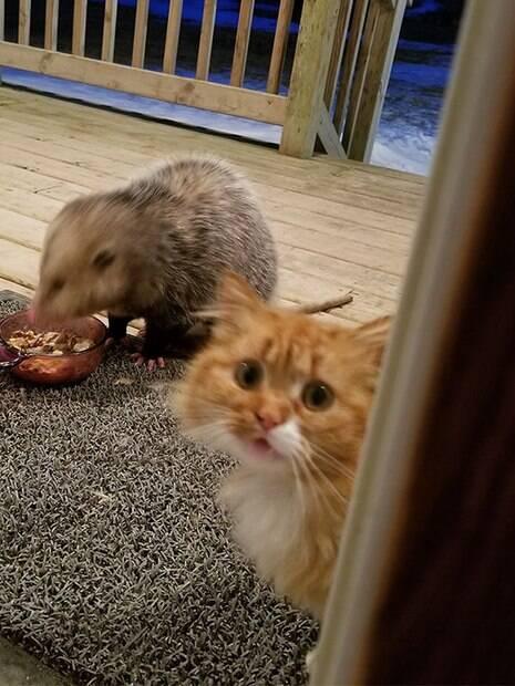 Gatinho tem reação hilária ao ver sua comida sendo roubada por um gambá