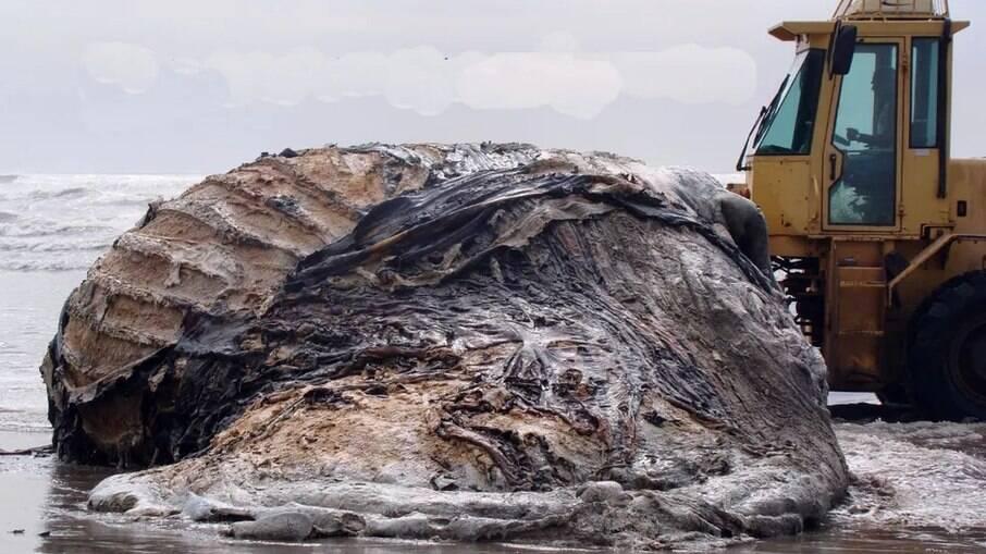 Indícios dão conta de que trata-se do esqueleto de uma Baleia-de-bryde, de 14 metros, que encalhou no local em 2009