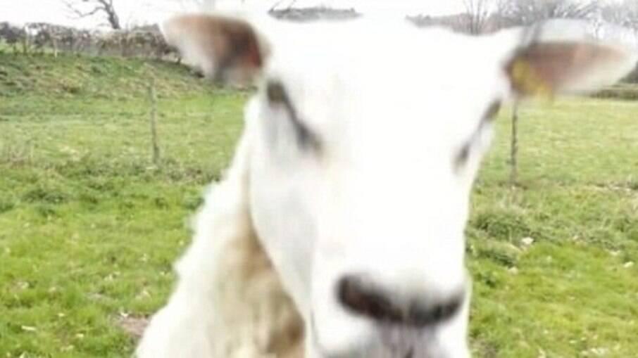 A ovelha Sally Louca ficou irritada com o aparelho e decidiu atacá-lo