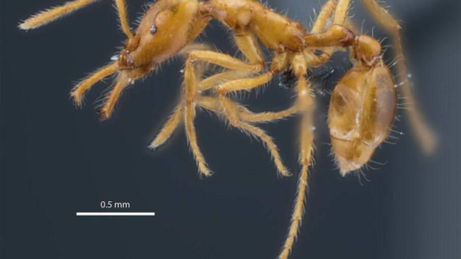 Nova espécie de formiga descoberta no Equador recebe primeiro nome científico com 'gênero neutro'