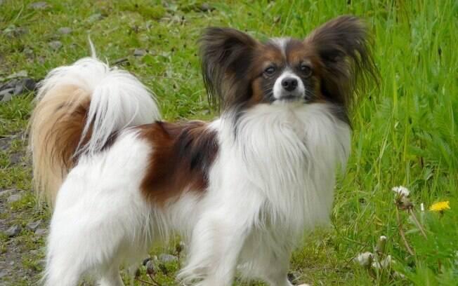 O Papillon é um dos poucos cachorros de pequeno porte que está entre os mais inteligentes