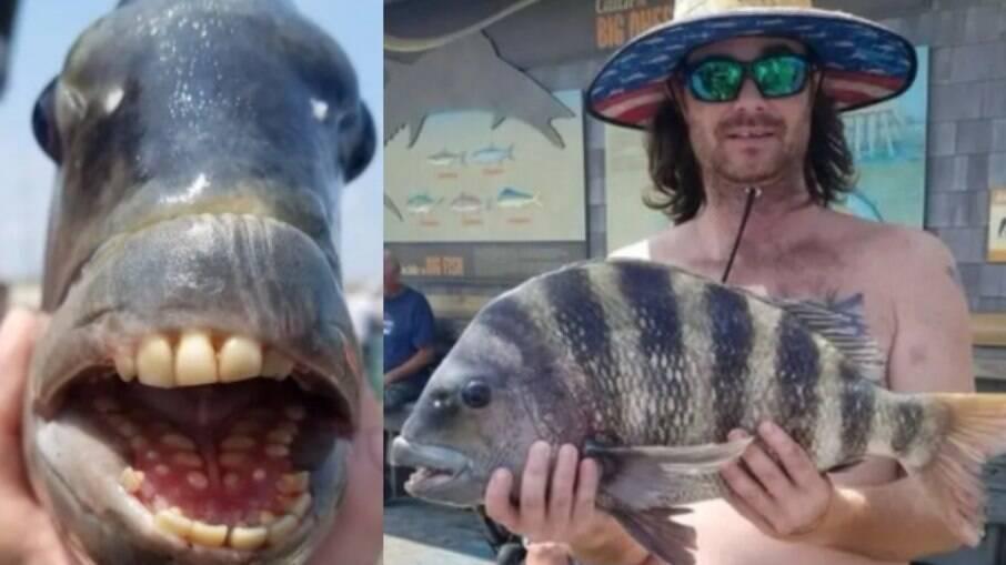 Espécie chamada de 'sargo-de-dentes' possui diversos dentes molares e caninos similares aos humanos