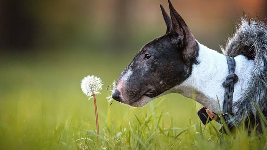 Apesar da cara de poucos amigos, os cães desta raça são muito dóceis e companheiros
