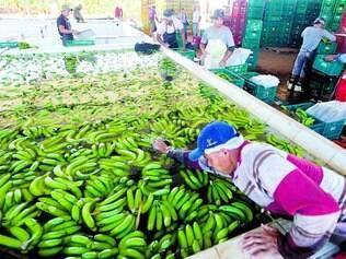 Jaíba. Embarque de banana, feito experimentalmente no início desse mês, é o primeiro do produto da região Norte de Minas Gerais, que promete exportar ainda mais