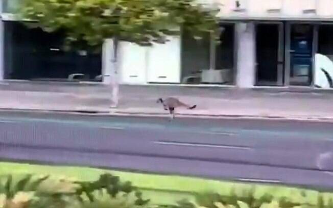 Canguru foi filmado em rua da cidade de Adelaide
