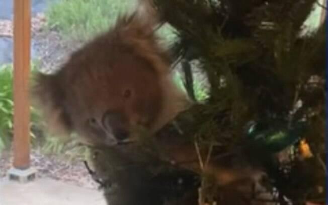 Após invadir a casa da família, animal se pendurou na árvore de natal