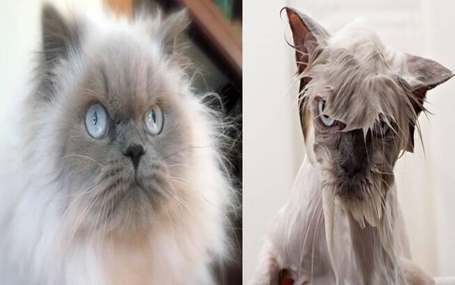Um lindo gatinho cinza antes do banho e o mesmo gato bem esquisito depois do banho.
