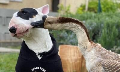 Gansa adotada se torna amiga inseparável de cachorro