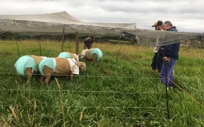 Estudo com ovelhas pretende otimizar a produção de leite em SC