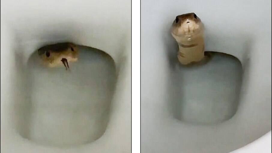 Cobra é avistada em vaso sanitário no Camboja