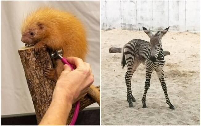 Um porco-espinho e uma zebra nasceram durante o fechamento dos parques da Disney por causa da Covid-19