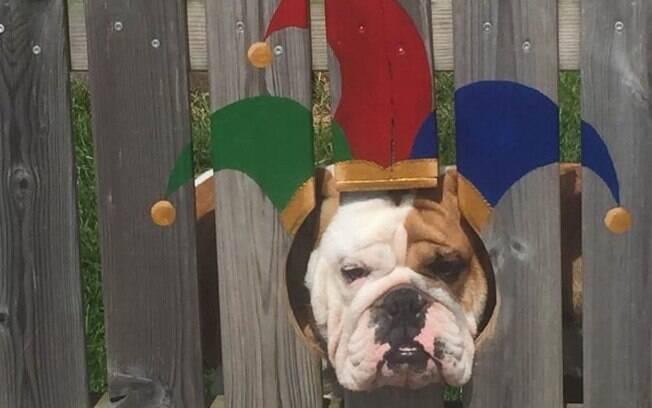 Buldogue fica de bobo da corte em pintura na cerca