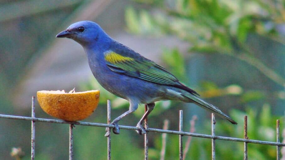 Deixar frutas frescas em locais visíveis e seguros vão atrair a atenção dos pássaros