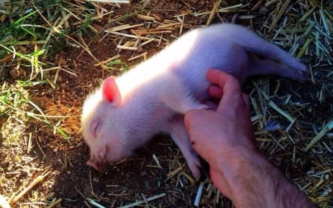 Um porquinho sorrindo.