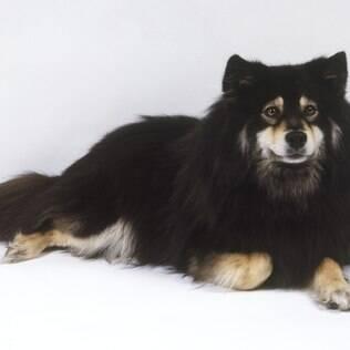 Cão Finlandês da Lapônia - undefined