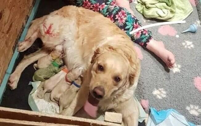 Cadela Golden Retriever dá à luz a filhote de cachorro verde