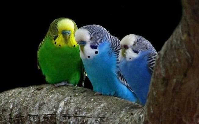 Algumas espécies de pássaros são recomendadas para quem mora em apartamento