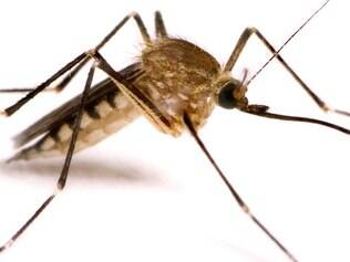 O mosquito Aedes aegypti tem origem africana