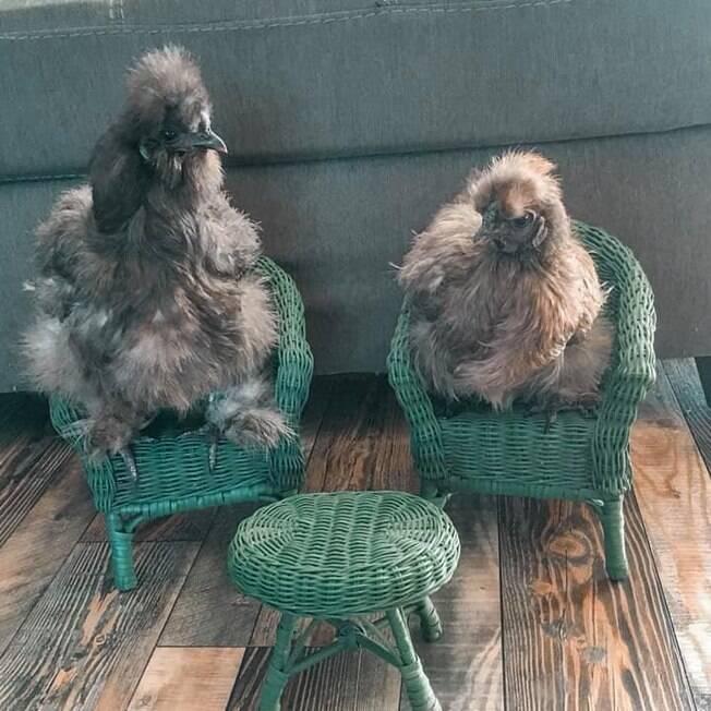 As duas galinhas de Brandee